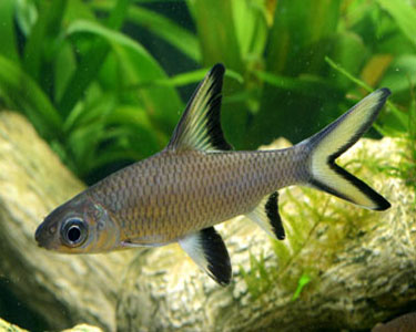 Breeding bala shark breeding fish for Freshwater shark fish