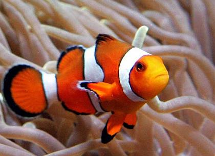 Fish care guides for Clown fish care