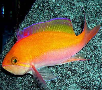 Head For A Healthy Spanish Holiday 18314264 also Peach Anthias Care together with  on life expectancy of an oscar fish