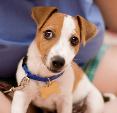 Jack Russell Terrier Popular Dogs