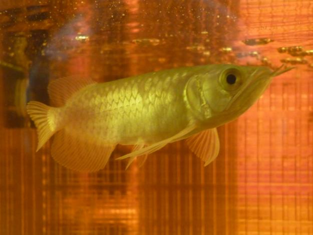 Golden Arowana for Sale, For Sale
