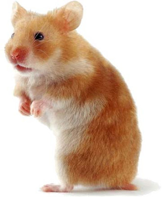 Funny Hamster Pictures ~ Animal Pictures Gallery