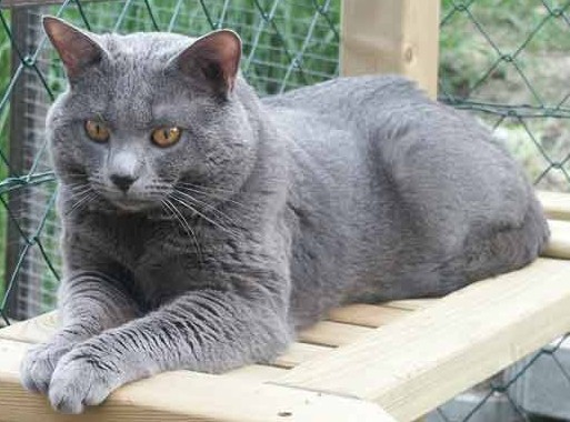 Top Cat Breeds: Chartreux Cat