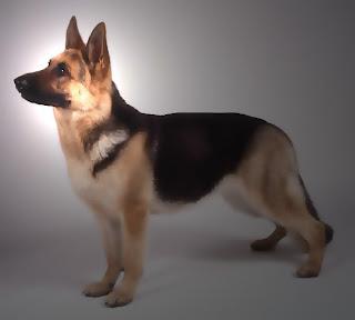 German Shepherd Popular Dogs