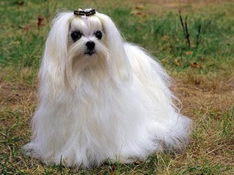 Maltese Popular Dog
