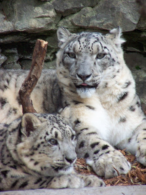 Some Information Regarding Snow Leopards