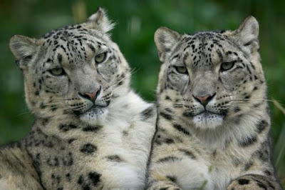 Big Cat Snow Leopard