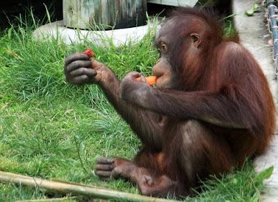 Orangutans Borneo Primate Photos