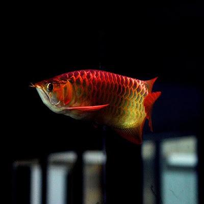 Image of Super Red Arowana