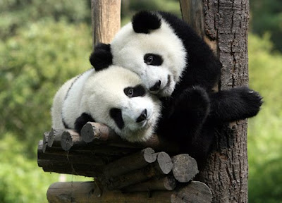 Picture of Baby Panda