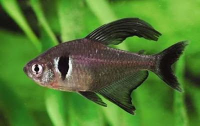 Black Phantom Tetra Image