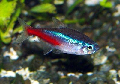 Neon%252BTetra%252BFish%252BPicture%252B003.jpg
