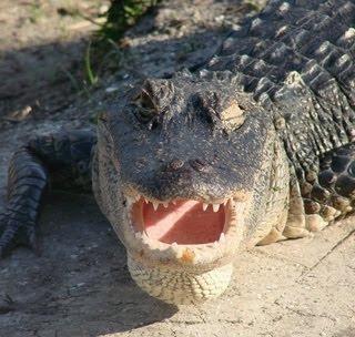 Alligator American