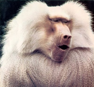 Funny Baboon Pictures