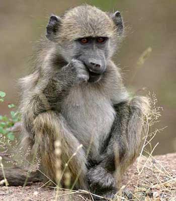 Funny Baby Baboon