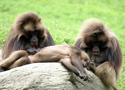 Picture of Baboon
