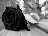 Tan fragil como una rosa