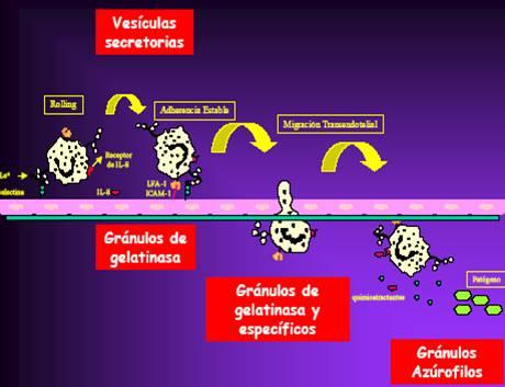 Resumen de las fases de migración del neutrófilo