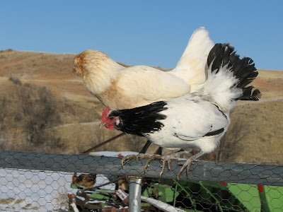 chicken breeds images. chicken breeds and pictures.