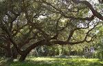 Maritime Oak