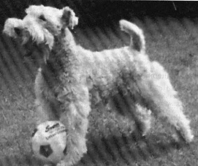 My name is Norman: Wire Fox Terriers do not have to be stripped