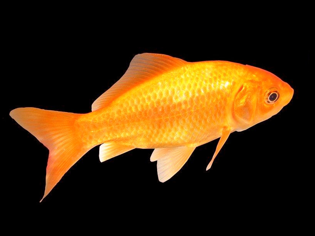 High definition photo and wallpapers fish pictures fish for Freshwater koi fish