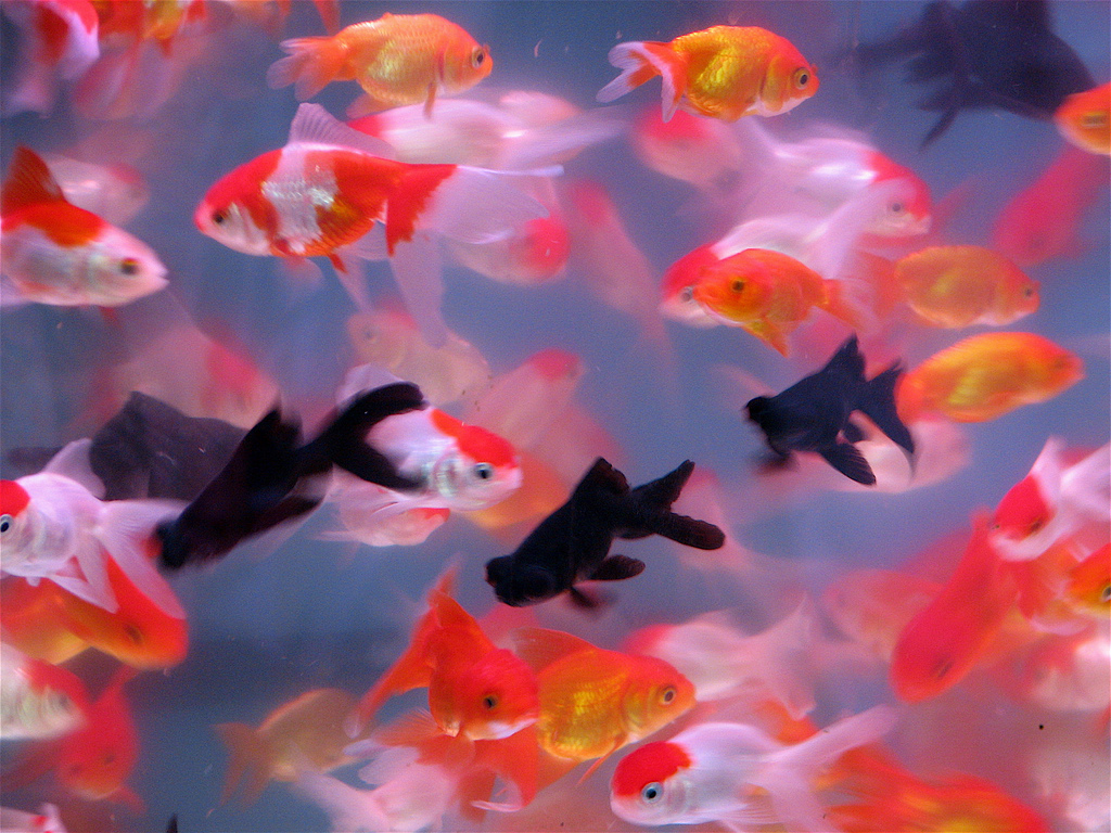 Freshwater aquarium fish koi koi aquarium fish koi koi for Koi fish aquarium