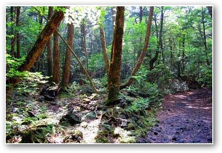 aokigahara forest japan. Aokigahara Forest, with its