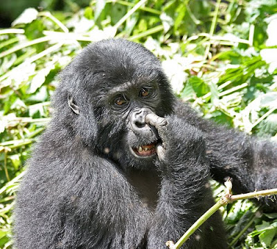 gorilla, gorila, funny gorila, funny gorilla, picking nose, nangungulangot, kulangot, unggoy, gorilya, funny pics