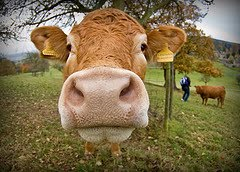 [cow]