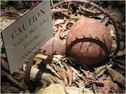 . kilo. Pohon Cannonball bisa ditemukan dari bagian selatan Karibia sampai .