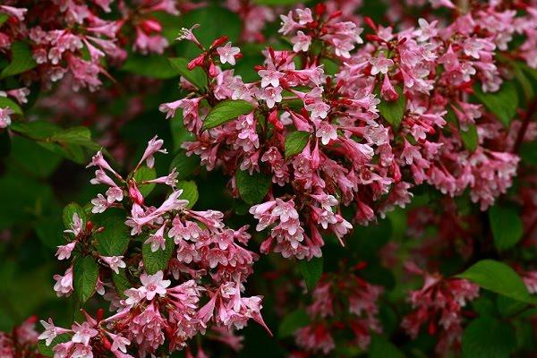 D as de rosas h bridos almizcle os musk ii - Arbusto pequeno con flores ...