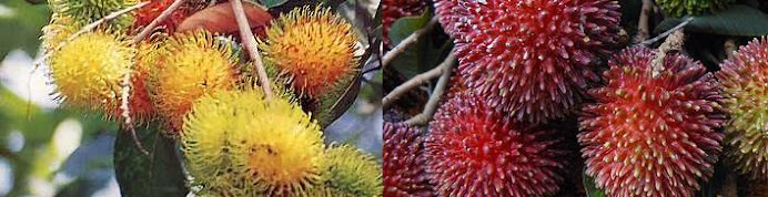 Pokok Rambutan