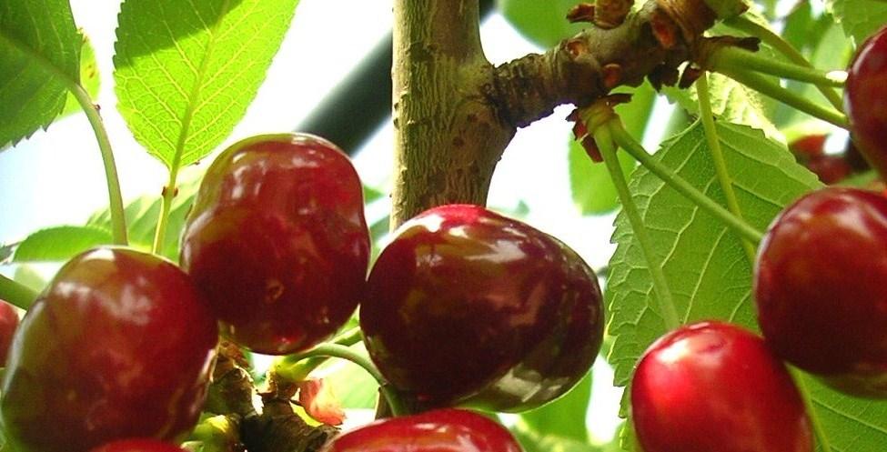 ADV Fruita Dolça de l'Alt Penedès