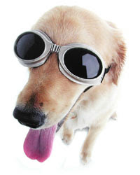 Dog wearing Doggles sunglasses for blind dogs