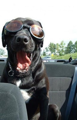 Dog wearing Doggles sunglasses
