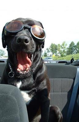Dog wearing Doggles sunglasses