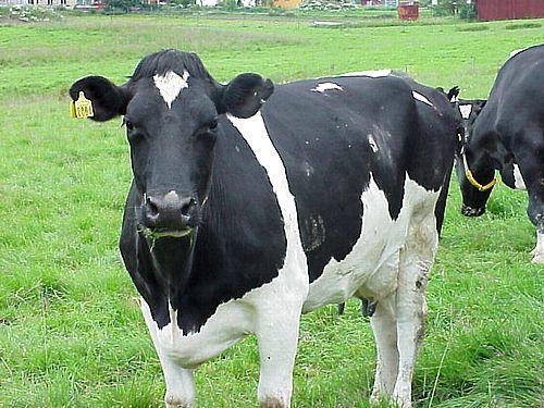 EUA querem atender 3% do consumo energético do país com cocô de vaca