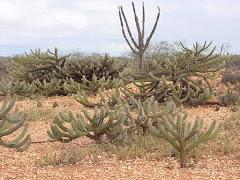 A ocorrência das cactáceas na caatinga