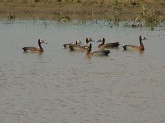 Marrecos em lagoa na caatinga