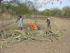 A queima do mandacaru