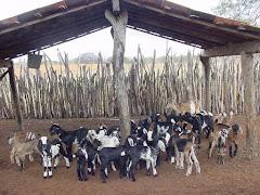 Os filhotes de caprinos no aprisco