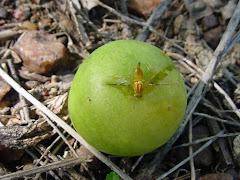 A mosca da fruta do imbuzeiro