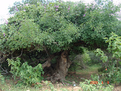 Planta de imbuzeiro com 960 anos