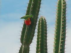 Um periquito verde consumindo fruto do mandacaru