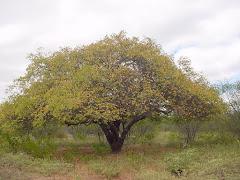 Planta de imbuzeiro com folhas maduras