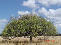 A floração do imbuzeiro na caatinga
