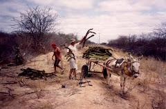 Corte de xiquexique e mandacaru  na caatinga
