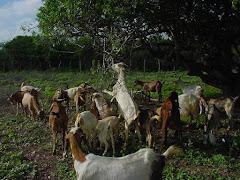 Caprinos consumindo frutos e folhas do imbuzeiro