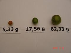 Os diferentes tamanhos do fruto do imbuzeiro
